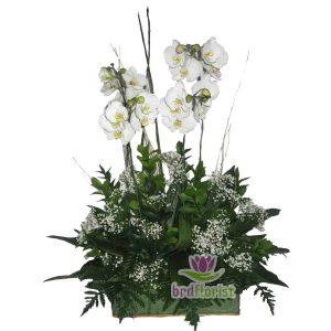 Bunga Meja Anggrek Bulan